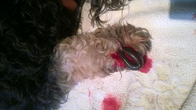 Ein Blutegel an einer Hundepfote. Es blutet ein der Bissstelle und ein roter Fleck breitet sich auf dem Handtuch darunter aus