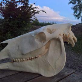 """Vortrag  """"Der Kopf und die Zähne des Pferdes """" am 29.01.19 in der Hailerer Dorfschmiede"""